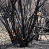 Burned willow along the Big Thompson River and the Cub Lake Trail - Rocky Mountain National Park.