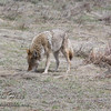 Coyote in Upper Beaver Meadows - Rocky Mountain National Park.