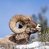 Ram's Horn Eye