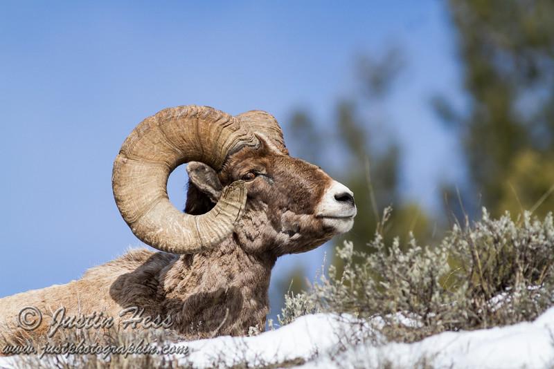 Wild America Ram