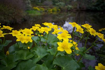 Asticou Azalea Garden, Acadia N.P