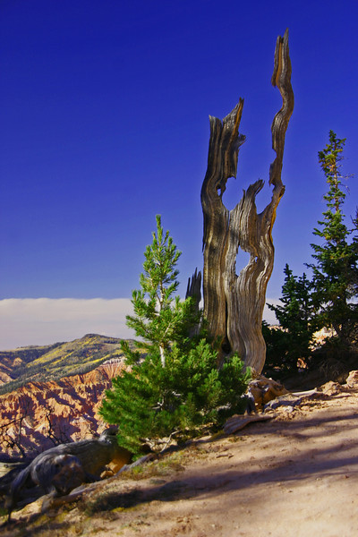 Weathered Trees - Cedar Breaks NM