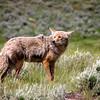 Wolf near Wraith Falls