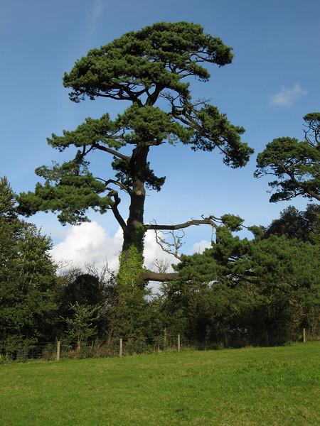 Saltram Park Tree