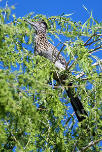 Roadrunner in a tree Bosque del Apache, New Mexico