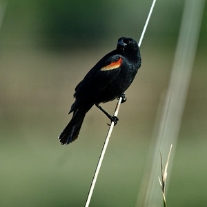 Red-winged Blackbird Bosque del Apache, New Mexico