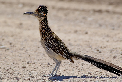 Greater roadrunner running on the road