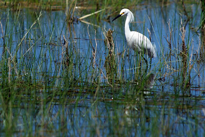 Snowy Egret Bosque del Apache, New Mexico