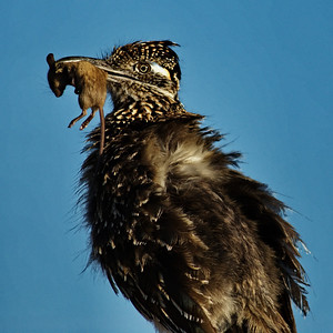 Greater Roadrunner with mouse Bosque del Apache, New Mexico
