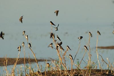 Swallows Bosque del Apache, New Mexico