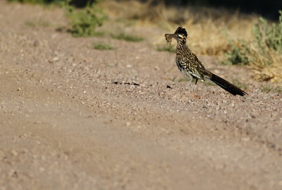 Greater Roadrunner Bosque del Apache, New Mexico