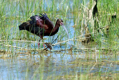 White-faced Ibis Bosque del Apache, New Mexico