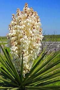 White Yucca Flower