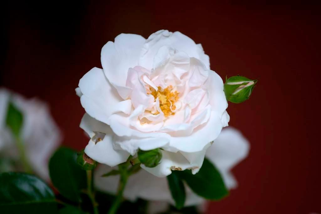 rose bloom 20070622_072_edit_070622