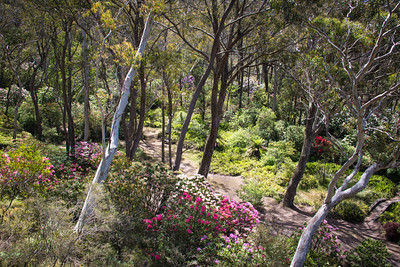 Rhododendrons, Blackheath, Blue Mountains