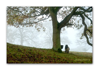 Shy ponies sheltering by a large tree in the Derbyshire hills near Stanton, England.  ©Gerald Diamond All rights reserved