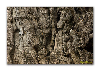Thousand year old oak, Jerusalem, Israel  ©Gerald Diamond All rights reserved