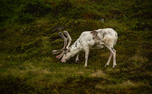 Reindeer, Norway