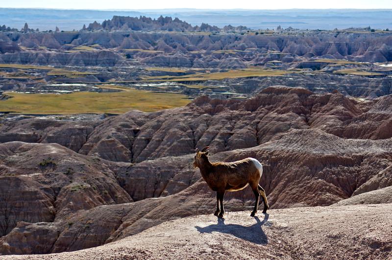 A Bighorn ewe pauses above Hay Butte; Badlands, South Dakota.