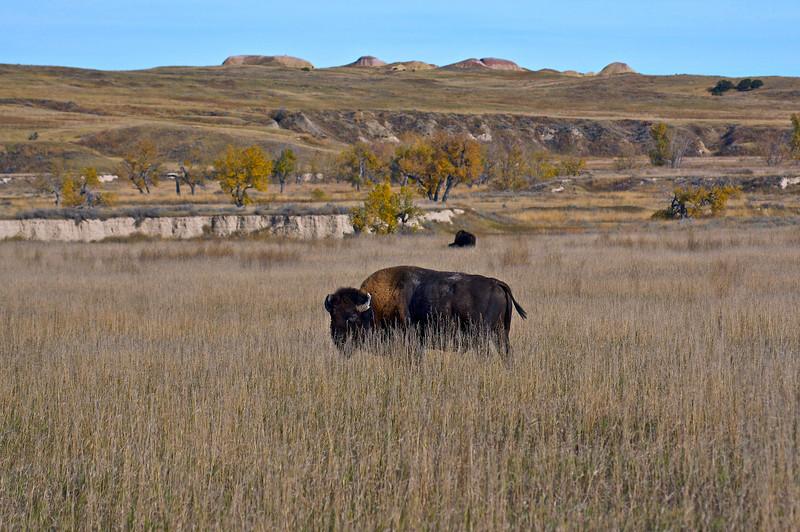 For the Bison, it's ALWAYS lunch time;  Sage Creek Wilderness, Badlands, South Dakota.