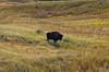 Bison roam free in the Sage Creek Wilderness; Badlands, South Dakota.