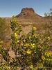 Creosote blooming and Cerro Castalon (4)