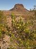 Creosote blooming and Cerro Castalon (5)