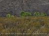 Cottonwoods near Sam Nail Ranch (2)