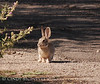 Cottontail (1)
