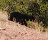 "Black bear on top of Lost Mine Trail - ""the bear that went over the mountain"""