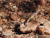 SouthWest Earless Lizard