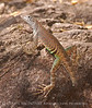 SW Earless Lizard Male (4)
