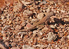 SW Earless Lizard female (1)
