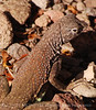 SW Earless Lizard female (3)