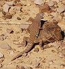SW Earless Lizard