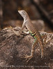 SW Earless Lizard Male (7)