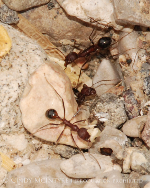 I went hiking in Dog Canyon, near Persimmon Gap, with Shanna, a park worker, and she likes to stop and look at ants, too.  These were long-legged ants that moved as if in slow motion.  They were cutting off bits of a seed.