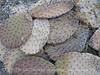 Dead Prickly Pear pads (2)
