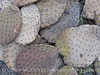 Dead Prickly Pear pads (3)