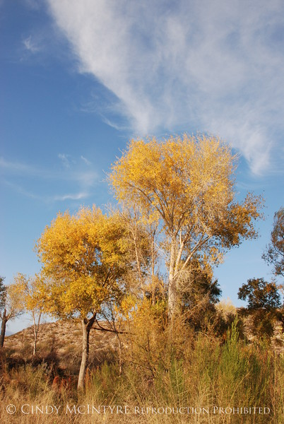 Autumn Cottonwoods RGV (1)