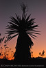 Yucca and sunset from Dagger Flat Road