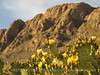 Blind Prickly Pear blooming Boquillas Canyon (1)