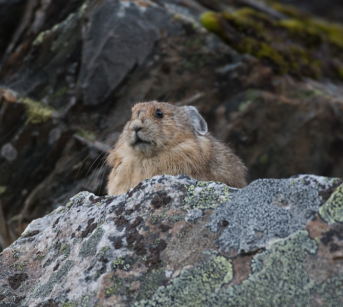 Canadian Mountain Hamster (Pika)