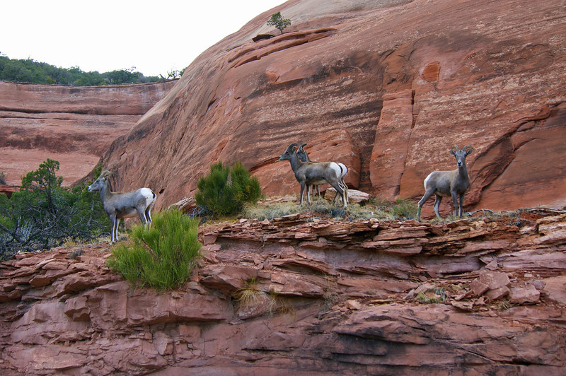 A group of female desert bighorn sheep roam the cliffs of the Colorado National Monument
