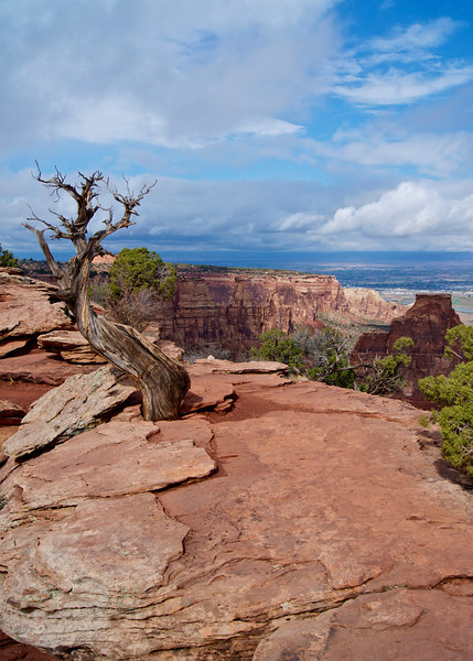 An ancient wind-twisted tree trunk stands alone near the cliff edge; Colorado National Monument