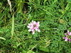 Crown Vetch (Coronilla varia or Securigera varia)