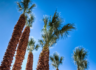 palm-tree-tops