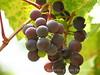 Grapes, Josie's Cabin, DINO UT (10)