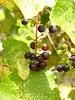 Grapes, Josie's Cabin, DINO UT (6)