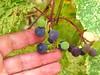 Grapes, Josie's Cabin, DINO UT (4)